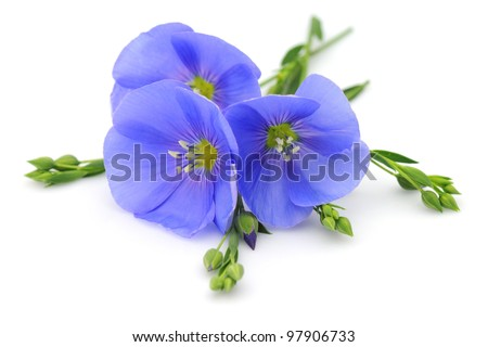 Flowers of flax - stock photo