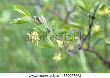 Flowers of honeysuckle in the early spring. Selective focus.  - stock photo