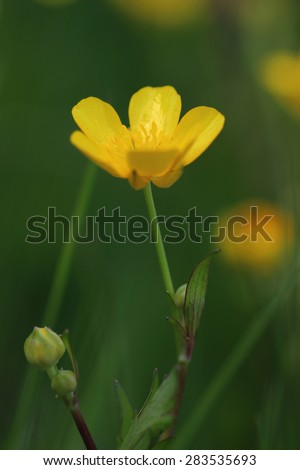 Flowers of meadow buttercup (Ranunculus acris). Closeup - stock photo