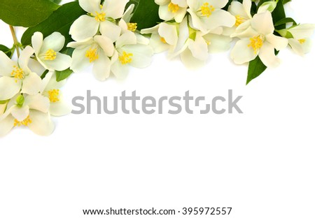 Flowers of Philadelphus (Mock orange) on white background with space for text. - stock photo