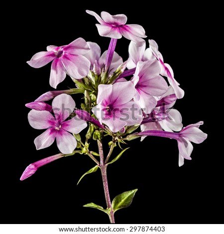 Flowers of phlox, isolated on a black background - stock photo