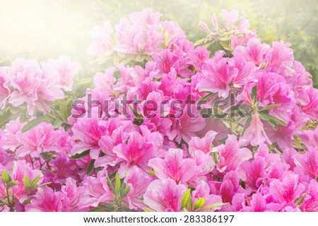 Flowers of Rhododendron (Azalea) after rain at sunset time. - stock photo