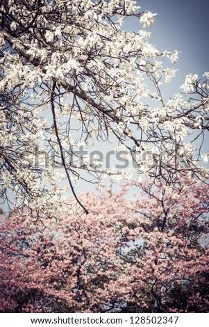 flowers of silk floss tree, Ceiba insignis, Chorisia Speciosa - stock photo