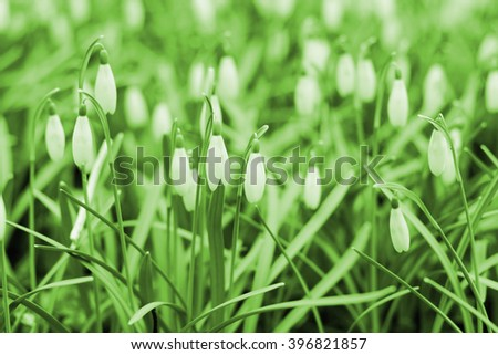 flowers of snowdrop - Galanthus nivalis; shallow depth of field; green color filter effect - stock photo