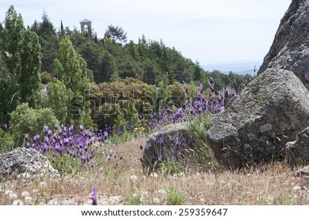 Flowers of Spanish lavender, Lavandula stoechas. Photo taken in Guadarrama Mountains, La Cabrera, Madrid, Spain  - stock photo