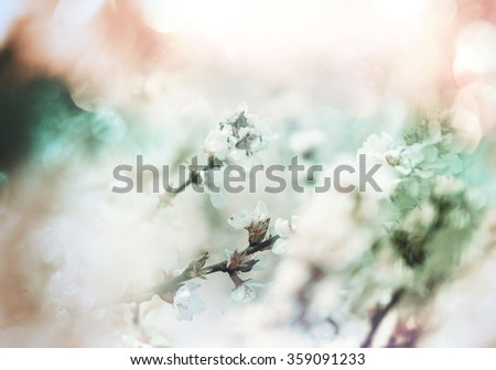 Flowers of the cherry blossoms in a spring garden - stock photo