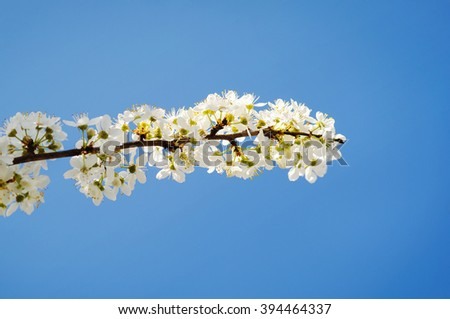 Flowers of the cherry blossoms in spring day - stock photo