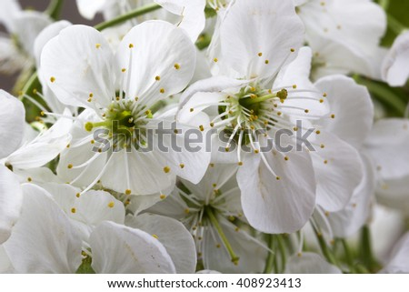 Flowers of the cherry blossoms macro - stock photo