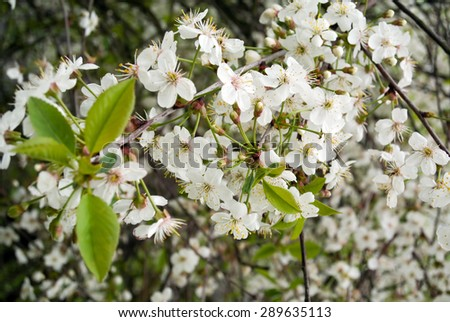 Flowers of the cherry blossoms on tree branches with green leaves closeup view - stock photo