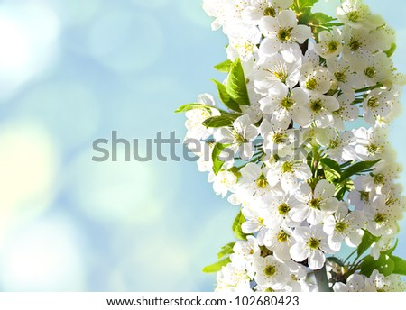 Flowers of the cherry tree, backgrounds - stock photo