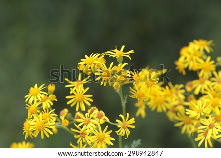 Flowers of the ragwort Jacobaea vulgaris. - stock photo