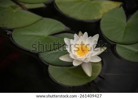 Flowers of the White Lotus - stock photo