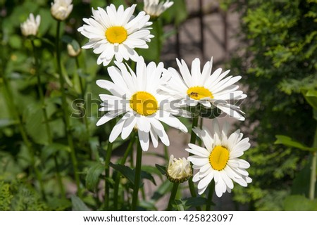 flowers of white big daisies in a garden - stock photo