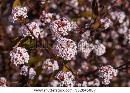 Flowers of  Winter Fragrant Snowball (Viburnum x bodnantense 'Dawn') - stock photo
