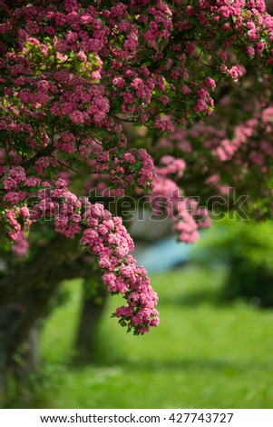 Flowers pink hawthorn close up. Hawthorn tree - in Latin Crataegus laevigata - with bright pink flowers. Spring natural background, sping frowering tree. - stock photo