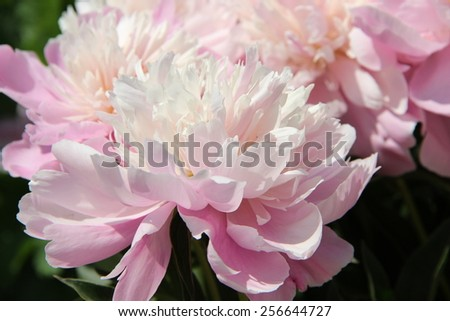 Flowers pink peonies - stock photo