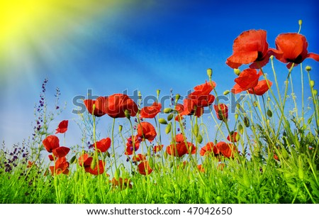 Flowers poppy - stock photo