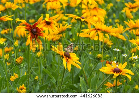 Flowers rudbeckia in the garden. Butterfly on a flower - stock photo