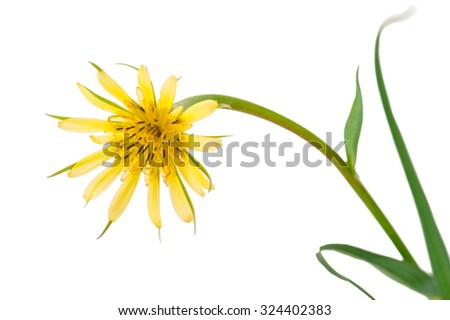 Flowers salsify isolated on white. Tragopogon dubius - stock photo
