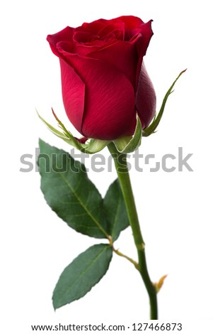 Flowers: single red rose, isolated on white background - stock photo
