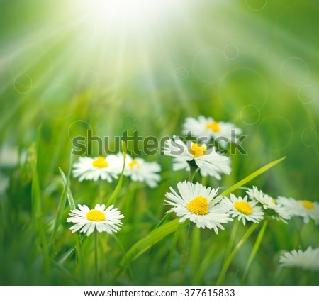 Flowers - spring daisy flowers lit by the rays of the spring sun in meadow - stock photo