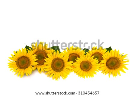 Flowers sunflower on white background with space for text - stock photo