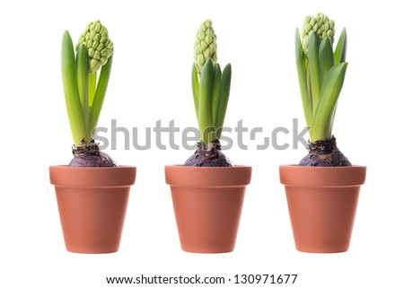 Flowers: three unblown green hyacinths in a ceramic flower pots, isolated on white background - stock photo