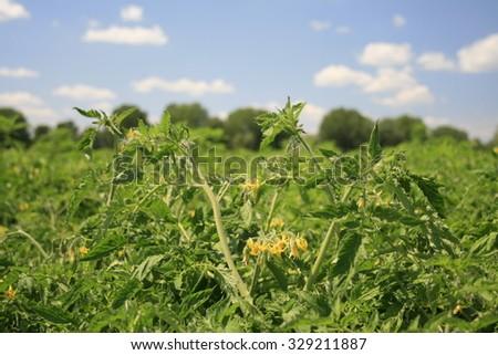 Flowers tomato. - stock photo