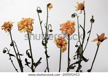 Flowers withered away through the passage of time - stock photo