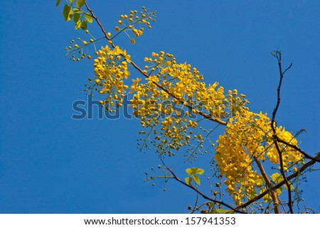 Flowers yellow The sky in Thailand - stock photo