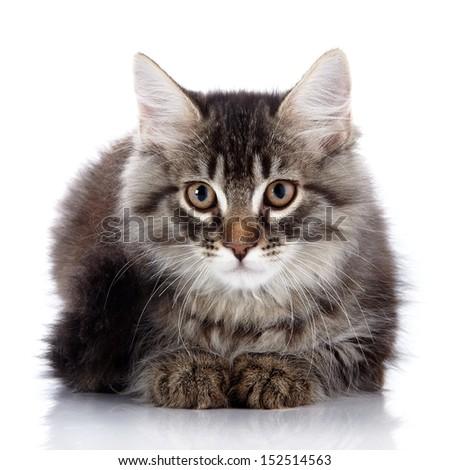 Fluffy beautiful cat.  Striped not purebred kitten. Kitten on a white background. Small predator. Small cat. - stock photo