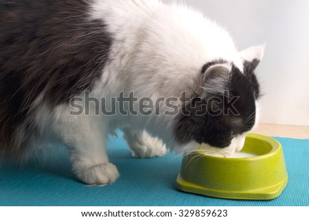 Fluffy black and white cat drinking milk from the green bowl. The cat drinks shelves. - stock photo