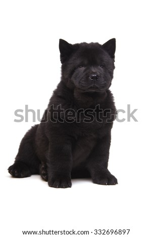 fluffy black chow-chow puppy isolated on white background - stock photo