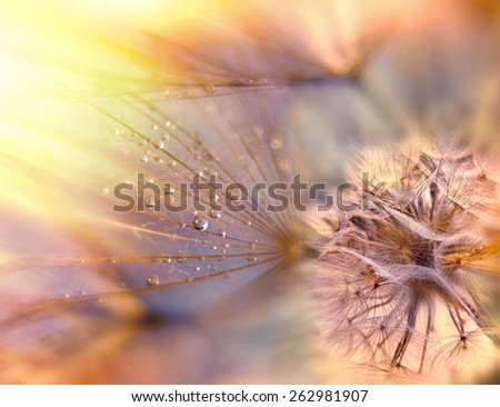 Fluffy blow ball - Dandelion seeds - stock photo