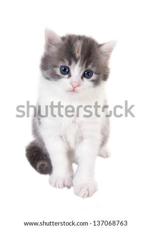 Fluffy blue-eyed kitten sitting isolated on white background - stock photo