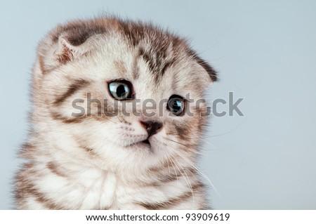fluffy brown beautiful kitten, breed scottish-fold,  close portrait  on blue  background , lamentably look - stock photo