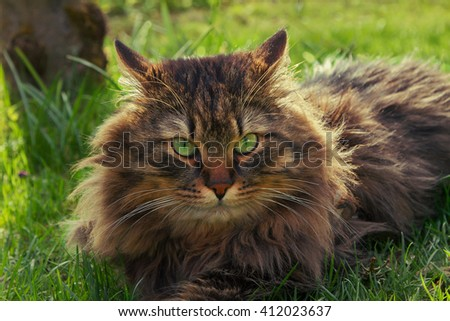 fluffy brown siberian pedigree cat with green eyes, lying in the garden - stock photo
