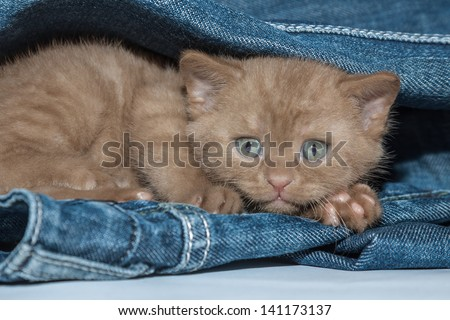 Fluffy brown small kitten with sad eyes scared and hiding in jeans - stock photo