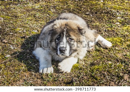 Fluffy Caucasian shepherd dog is lying on the ground - stock photo