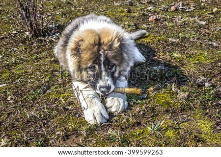 Fluffy Caucasian shepherd dog is lying on the ground and gnawing the stick - stock photo