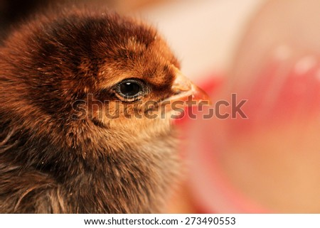 Fluffy Chick - stock photo