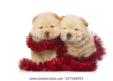 fluffy chow-chow puppies isolated on white background - stock photo
