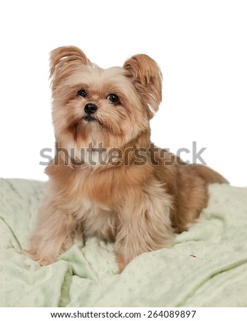 fluffy cute mixed breed dog posing in cushion with white background - stock photo