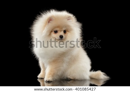 Fluffy Cute White Pomeranian Spitz Dog Sitting on Mirror isolated on Black Background in Front view - stock photo