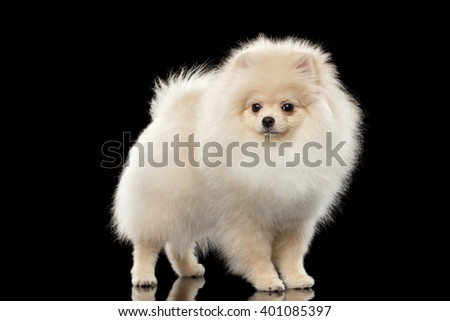 Fluffy Cute White Pomeranian Spitz Dog Standing isolated on Black Background in Front view - stock photo