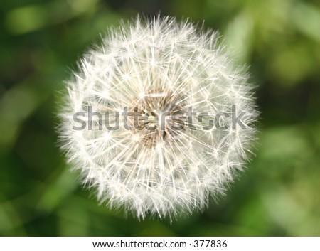 Fluffy dandelion. - stock photo