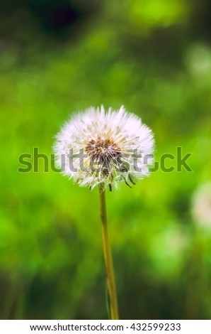 fluffy dandelion with natural green background. vertical photo - stock photo
