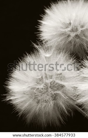 Fluffy dandelions close-up on dark background. Sepia toned image. Shallow DOF, focus on seed. - stock photo