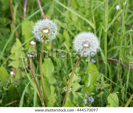 Fluffy dandelions on a meadow. Beautiful  white dandelions on a background of a green meadow.. Wildflowers. Close up.  - stock photo