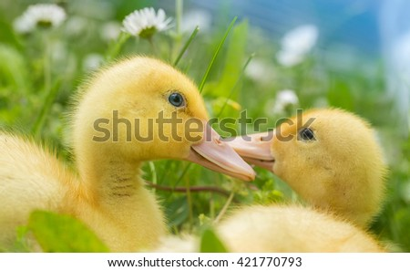 Fluffy ducklings - stock photo